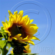 Sunflower_2_copy_card
