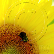 Sunflower_3_copy_card