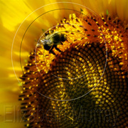 Sunflower_4_copy_card