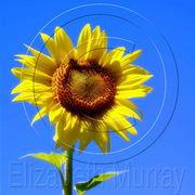 Sunflower_5_copy_card