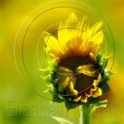 Sunflower_6_copy_card