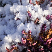 Winter_heather_card
