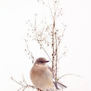 Mockingbird_card