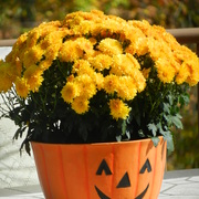 October_mums_2011_card