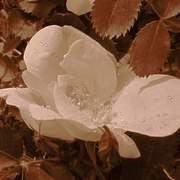 Sepia_flower_card