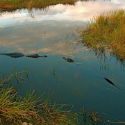 Alligators_meet__anhinga_trail__everglades_national_park__florida_card
