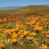 Ca_poppies__goldfields__cream_cups__antelope_valley_ca_poppy_reserve__ca_thumb