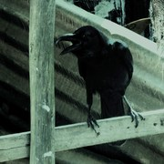 Cawing_crow_card