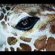 Giraffe_close_eye_1_card
