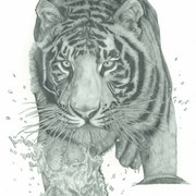 Tiger_through_water_card