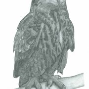 Eagle_owl_card