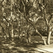 Fort_fisher_trees_in_sepia_card