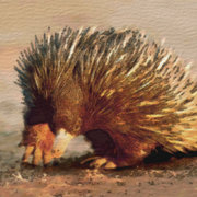 Echidna_watercolour_card