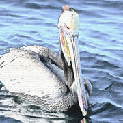 Brown-pelican-watercolour_card