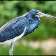 Blueheron_card
