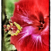 Hibiscus_card
