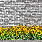 Brown_eyed_susans_hdr_card
