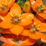 Orangeflower2_card