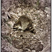 Raccoon_snapseed_card