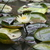 Lilly_padreflection_tiny_square