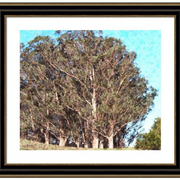 Point_reyes_trees_card