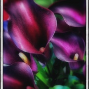Purplecalla_card