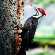 Woodpecker_card
