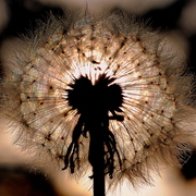 Dandilion_in_seed_a_card