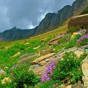Thunderstorm_approaching_davidson_s_penstemon__highline_trail__glacier_np__mt_card
