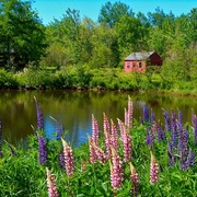 Lupine_by_otter_creek__acadia_natonal_park__me_card