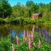 Lupine_by_otter_creek__acadia_natonal_park__me_thumb
