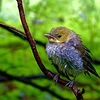 Least_flycatcher__treat_farm_trail__sleeping_bear_dunes_nls__mi_thumb