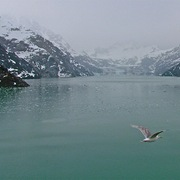Gull_over_glacier_bay_np-ak_card