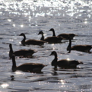Geese_lake_card