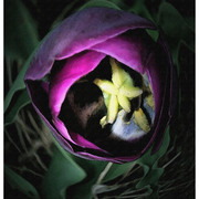 Purple-tulip_card