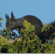 Black_squirrel_card