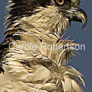 Ospreyportraitbycarolerobertson_card