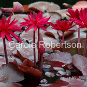 Redlilieswithhiddenfriendbycarolerobertson_card