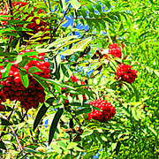 Rowan_berries_card