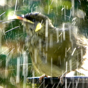 Honeyeater_frisk_2_card