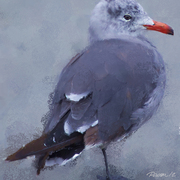 Gull_portrait_i_card