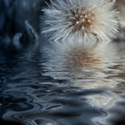 Dandelion_tears_card