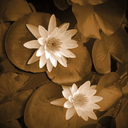 Waterlily-2_card