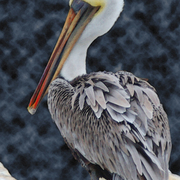 Pelican_portrait_card