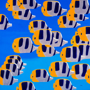 Butterfly_fish__sold__card