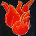 Bright_red_fire_tulip_for_web_square