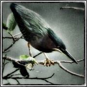 Bird1_painting_snapseed_card