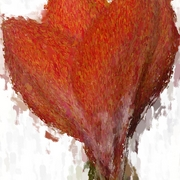Red_amaryllis_opening_card