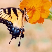 Tigerswallowtail_card