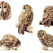 Tawny-owl_card